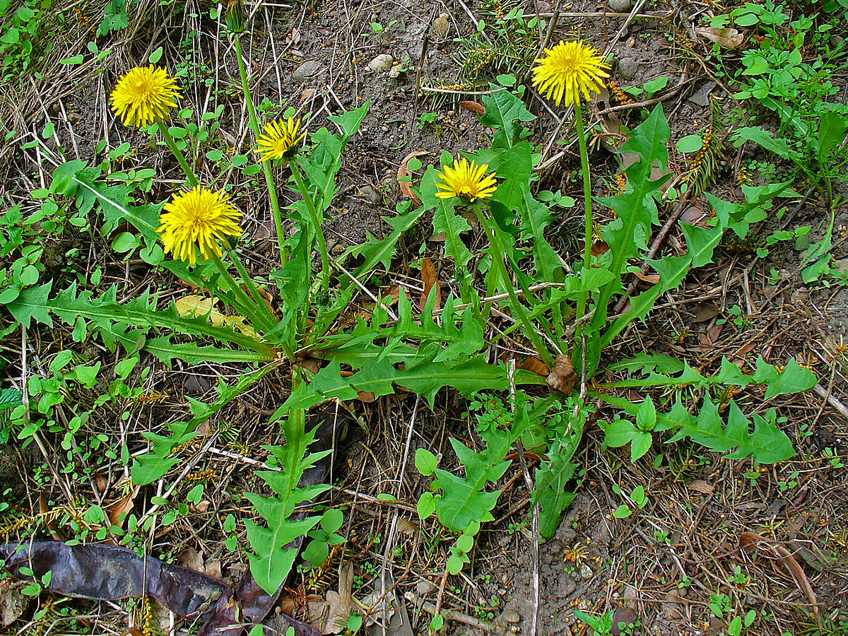 Common Dandelion (Taraxacum officinale) Efficiently Blocks The Interaction Between ACE2 Cell Surface Receptor And SARS-CoV-2 Spike Protein D614